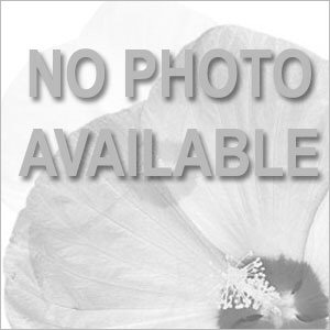 Buddleia davidii Chrysalis™ Purple